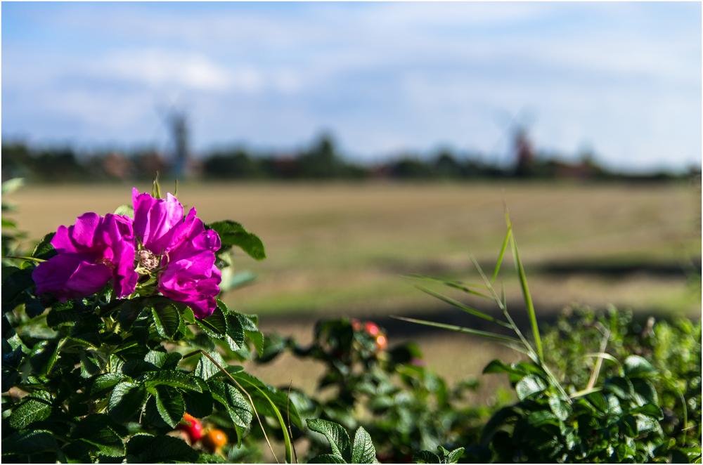 Zwillingsmühlen an Kamtschatka-Rose ...