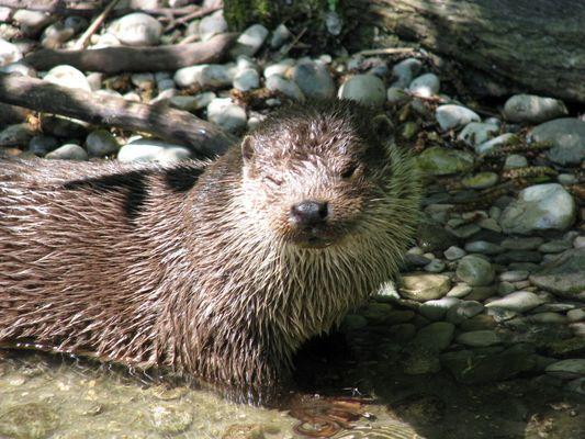 Zwinkernder Otter