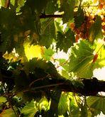 zwischen  Weinblättern die Sonne und goldgelbe Trauben