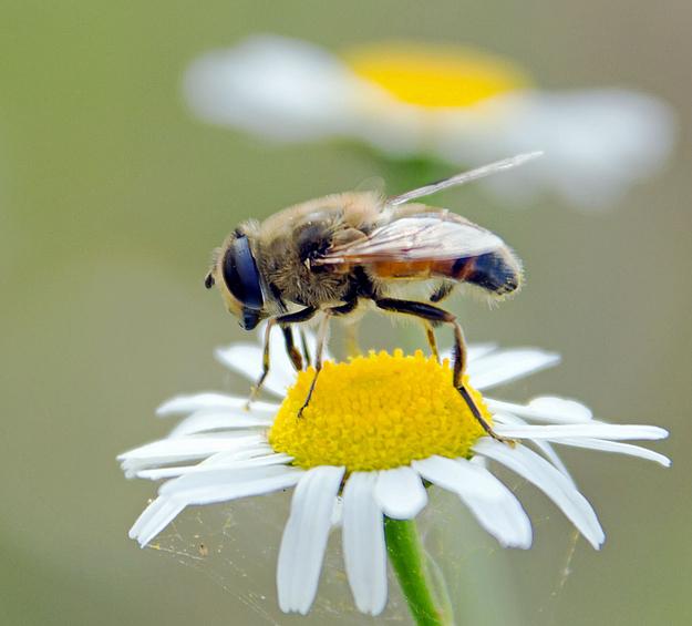 Zwischenlandung zum Pollen sammeln