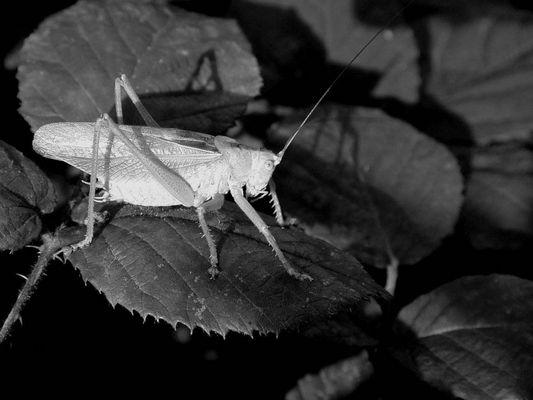 Zwitscherschrecke