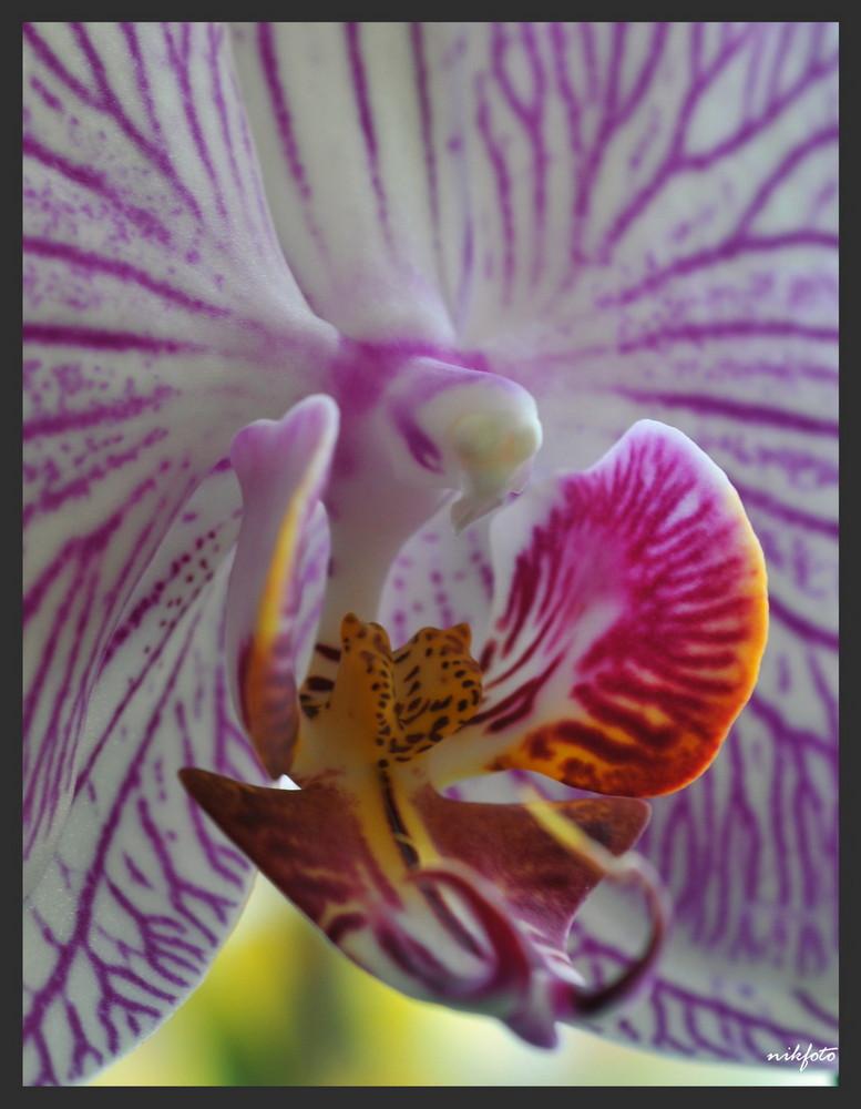 Zygomorphe Phalaenopsis Hybride