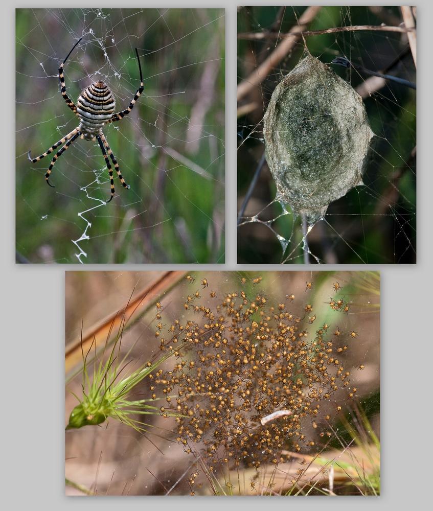 Zyklus einer Wespenspinne