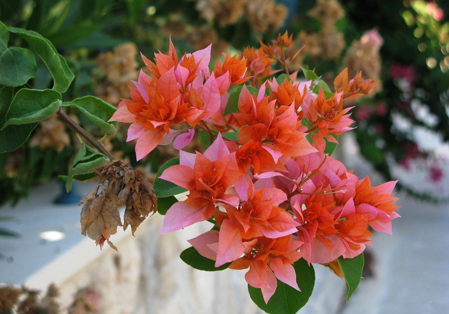 Zypern: Blütenpracht am Wegesrand