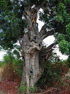 Zypern: Knorriger Baum in Nordwest-Zypern