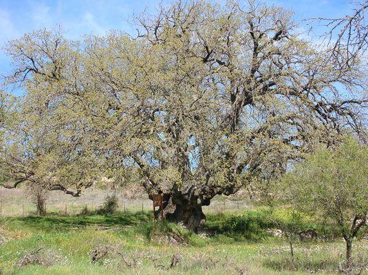 Zyperns älteste Eiche