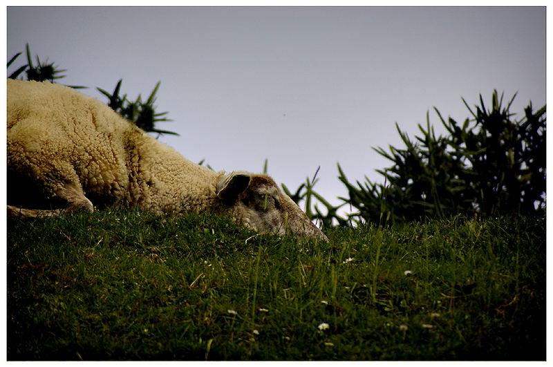 zzzzzzzzzzzzzz... selbst die Schafe zählen Schafe 1. 2. 3.