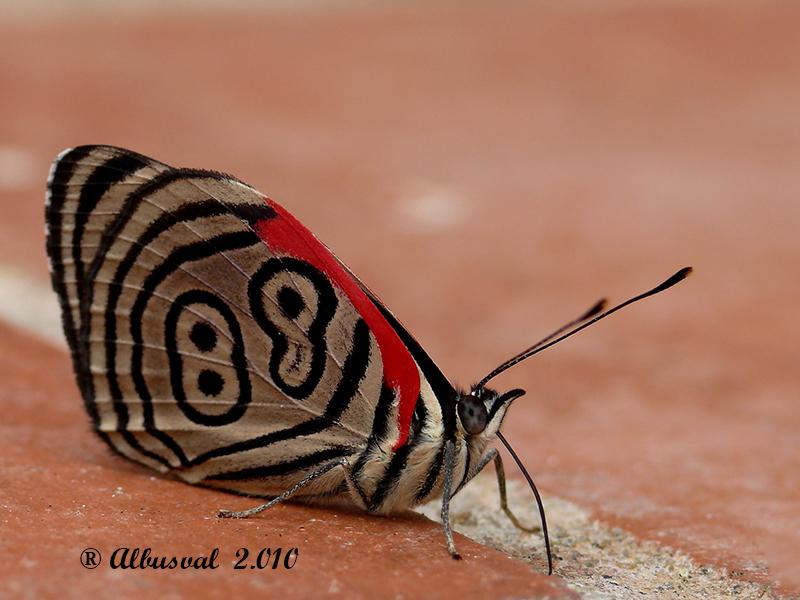 0036 Mariposa 89 - Diaethria anna