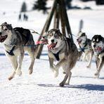 012 Schlittenhunderennen (Bernau)