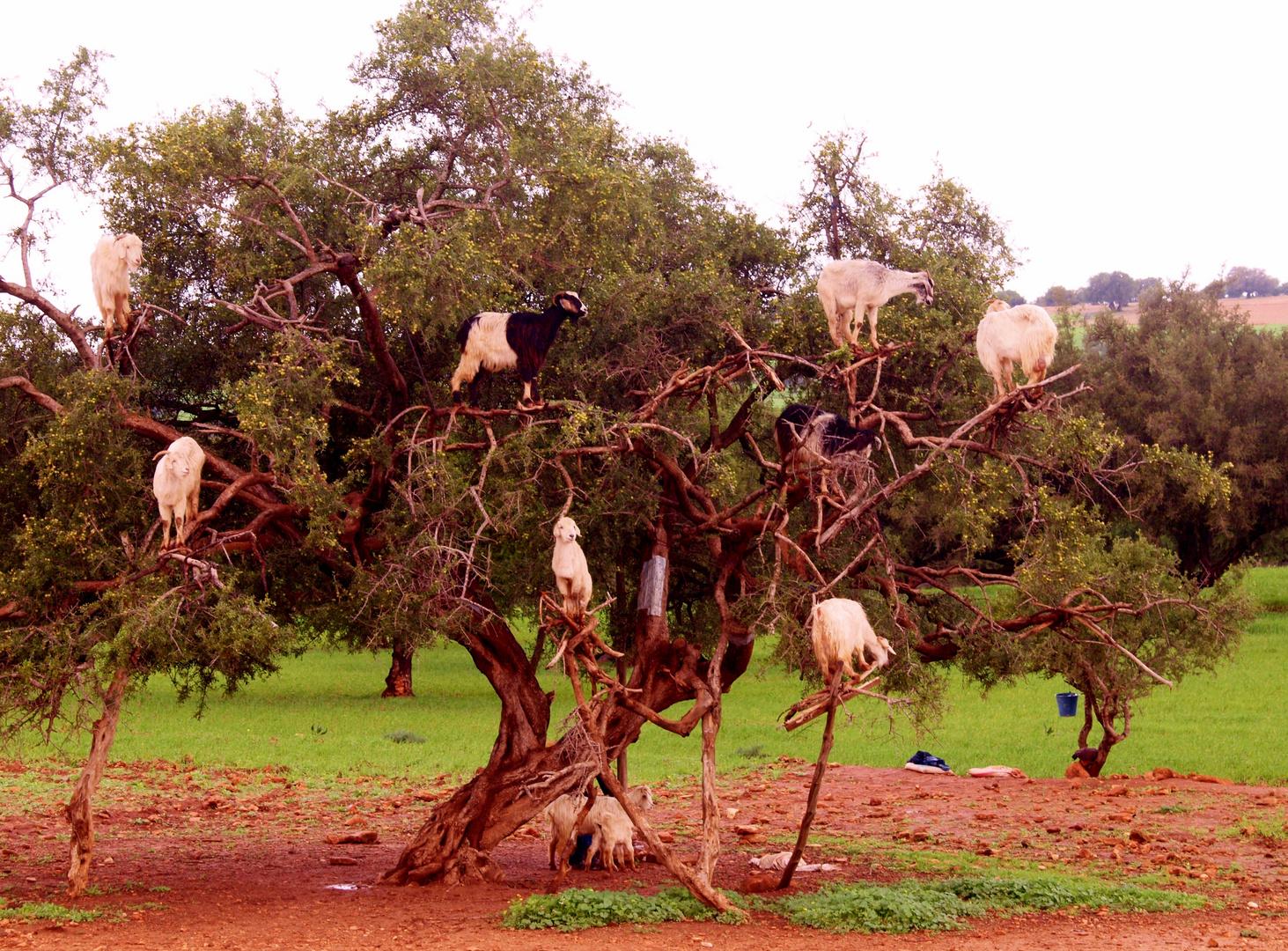 035L'arbre aux chèvres, route d'Essaouira (Maroc)