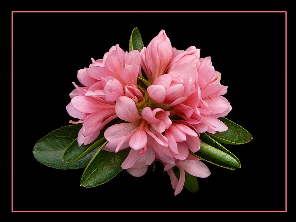 044 AZALEA una ciocca di fiori