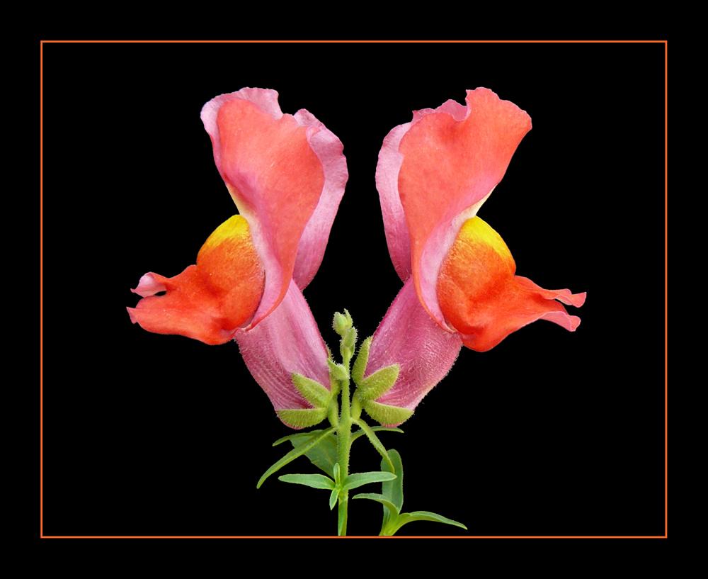 099 bocca di leone foto immagini piante fiori e funghi for Bocca di leone in vaso