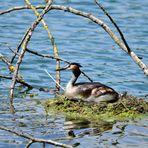 1) Das schönste Haubentauchernest, great crested nest, nido mas bonito de Somormujo lavanco