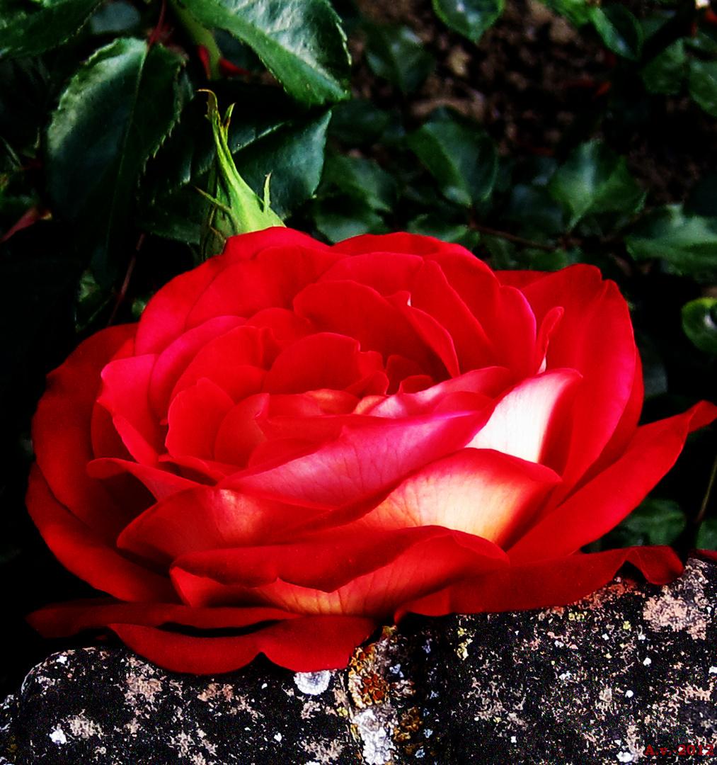 1ª. Declinación: ROSA. Nominativo, Vocativo y Ablativo singular