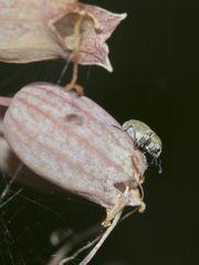 (1) Der Pechnelkenrüßler (Sibinia viscariae) - ...