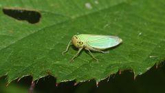 (1) Die Binsenschmuckzikade (Cicadella viridis)