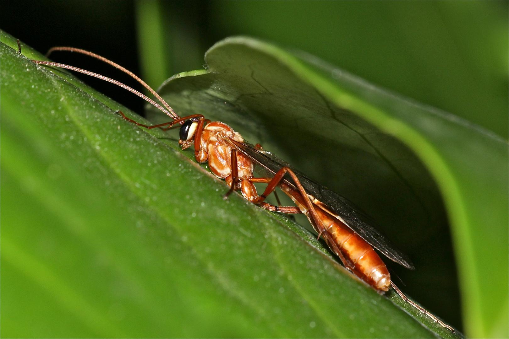 (1) Die etwa 2 cm lange Schlupfwespe Ophion obscuratus (Ichneumonidae), . . .