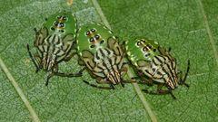 (1) Die Fleckige Brutwanze (Elasmucha grisea)