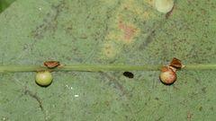 (1) Die Gallen der Gallwespe ANDRICUS OSTREA