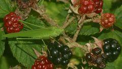 (1) Die Gemeine Sichelschrecke (Phaneroptera falcata)