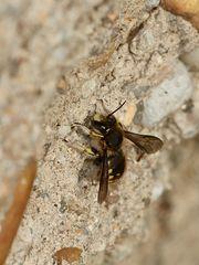 (1) Die Große oder Garten-Wollbiene (Anthidium manicatum)