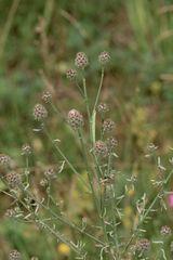 (1) Die Raupe des Ringfleck-Rindenspanners (Cleora cinctaria)