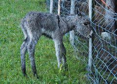 1. Gerade geborenes Eselfohlen, die Mutter ist auf der anderen Seite des Zaunes...