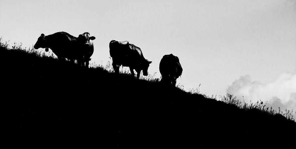 """1 Kuh mach """"Muh"""", viele Kühe machen """"Mühe""""..."""