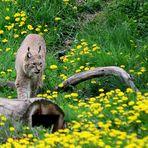 1)  Luchs (Lynx lynx),  Lynx, Lince