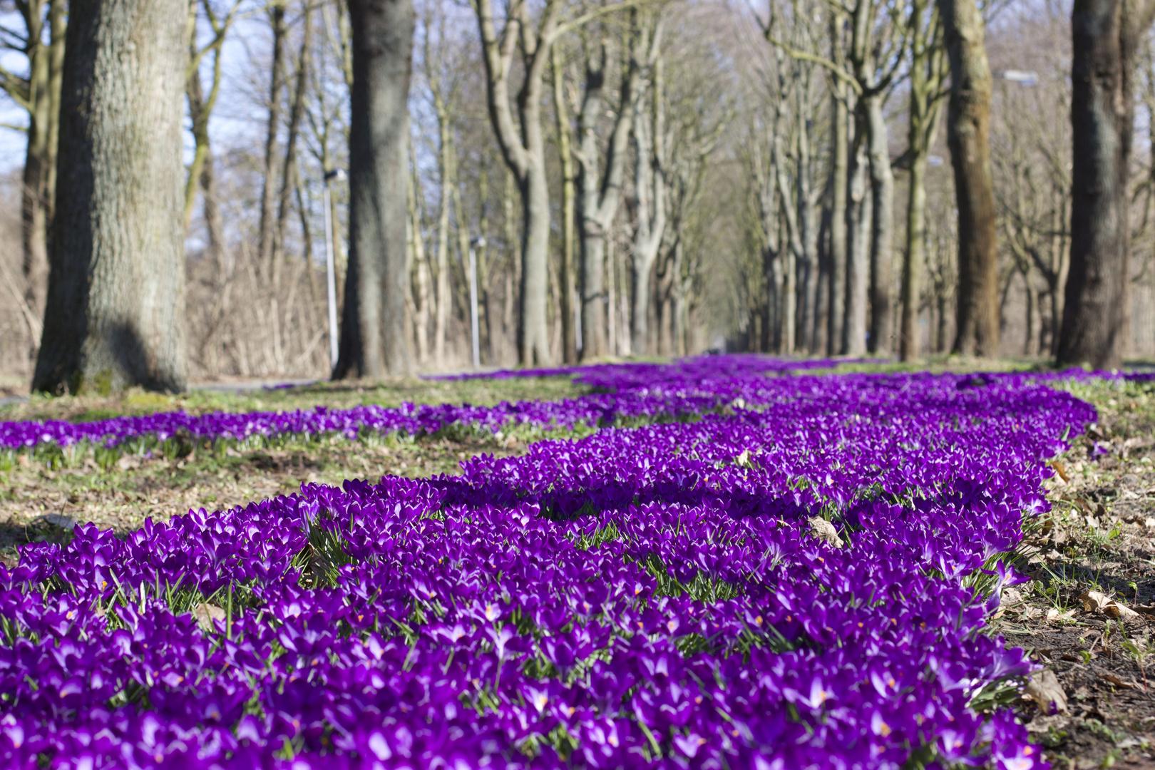 21 Million Krokusse für Oberneuland Foto & Bild   landschaft ...