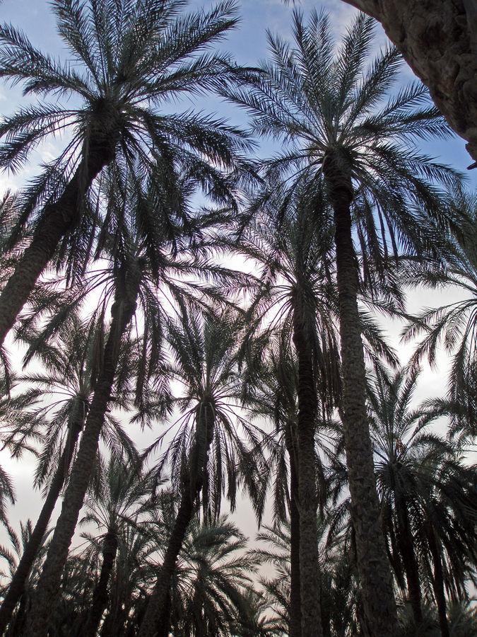 10 m² Palmenhain in der Oase bei Tozeur, Tunesien