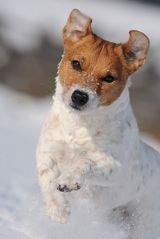 100 % Jack Russell Terrier