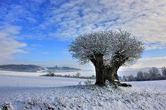 1000 Jahre alte Eiche im Winterkleid