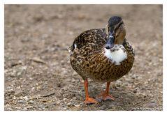 1000 Mal gesehen - Die Ente...
