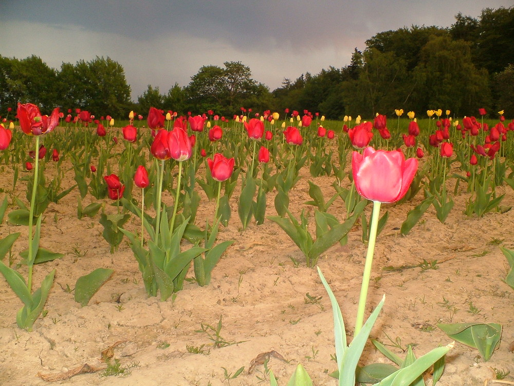 1000 tulips