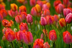 1000 Tulpen