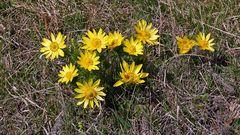 11 mal Adonis vernalis in voller Blüte am Oblik im Böhmischen Mittelgebirge...