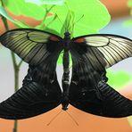 110413 Potsdam schwarzer Schmetterling Paarung 6 klein