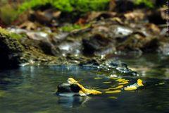 12 Salamander / 12