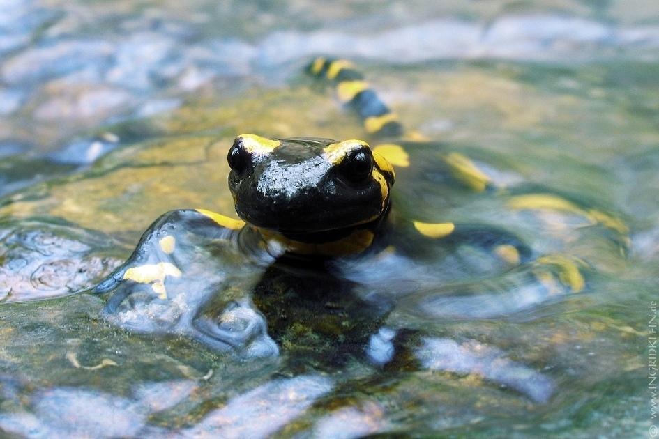 12 Salamander / 2