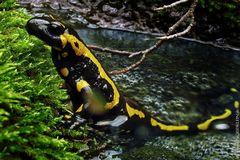 12 Salamander / 6
