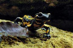 12 Salamander / 9