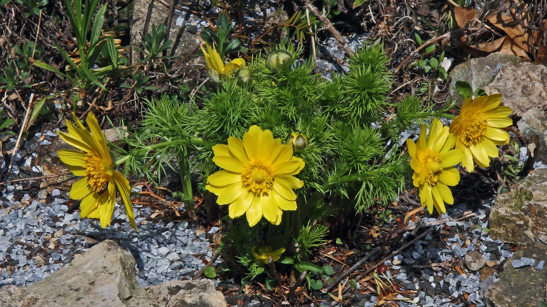12 Tage nach der schon gezeigten ersten Adonis vernalis Blüte...