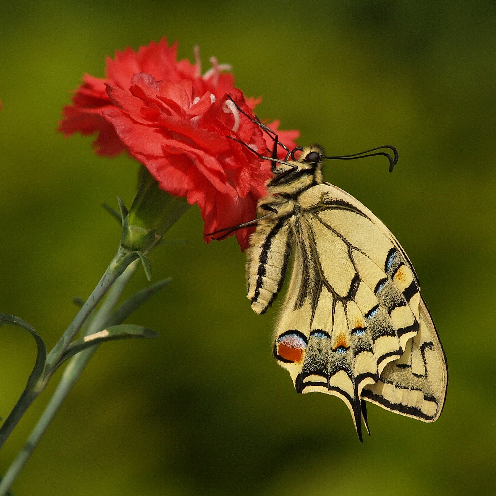 15 papilio machaon - daccapo