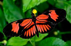 1605....Papillon