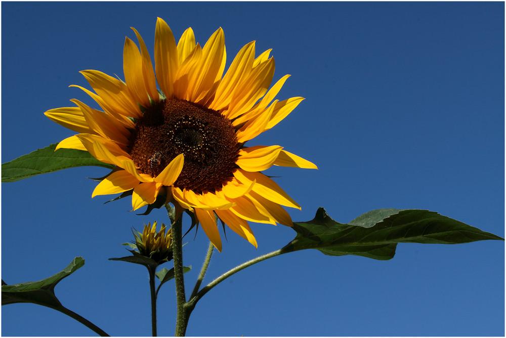 1673 Sonnenblume