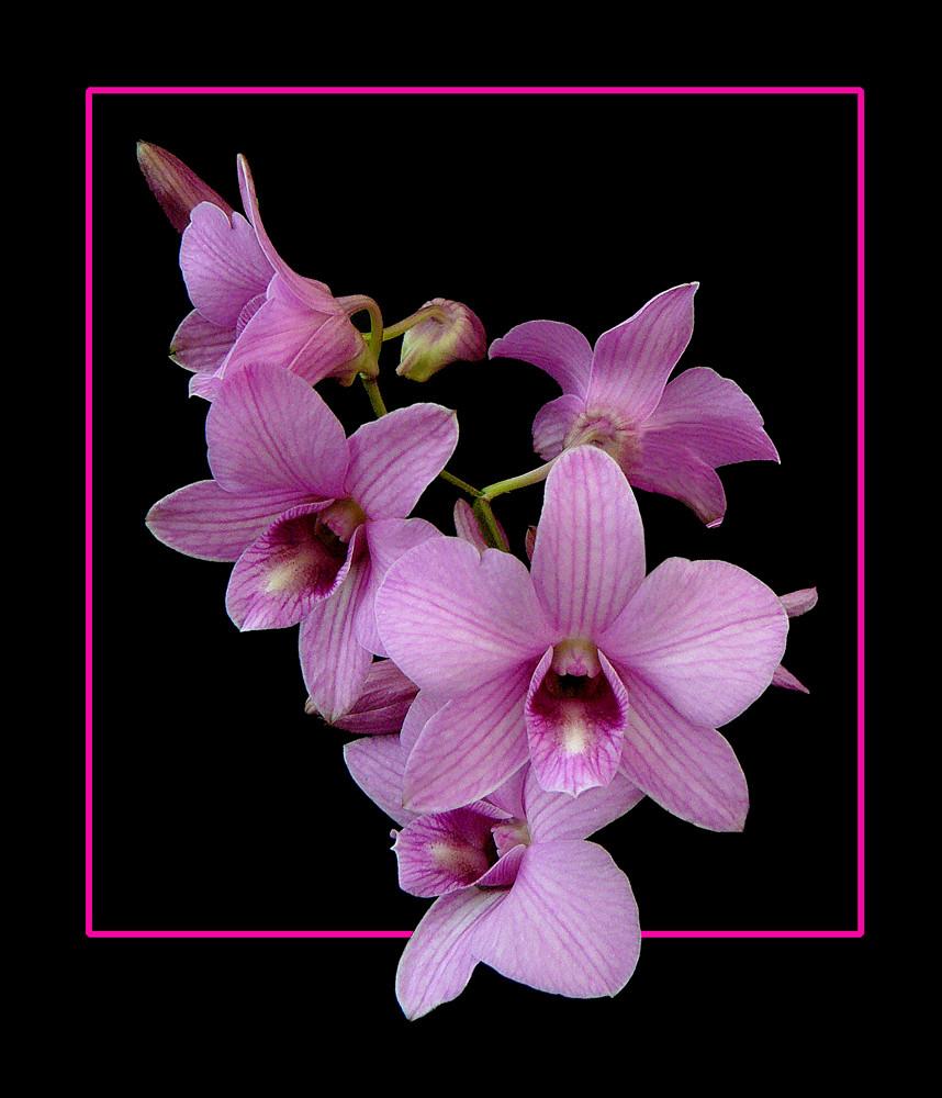 198 orchidea foto immagini piante fiori e funghi for Nuovo stelo orchidea