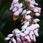 1)Hotel Tiéti, Poindimié - Fleurs d'Alpinia Speciosa - Blüten von Alpinia Speciosa