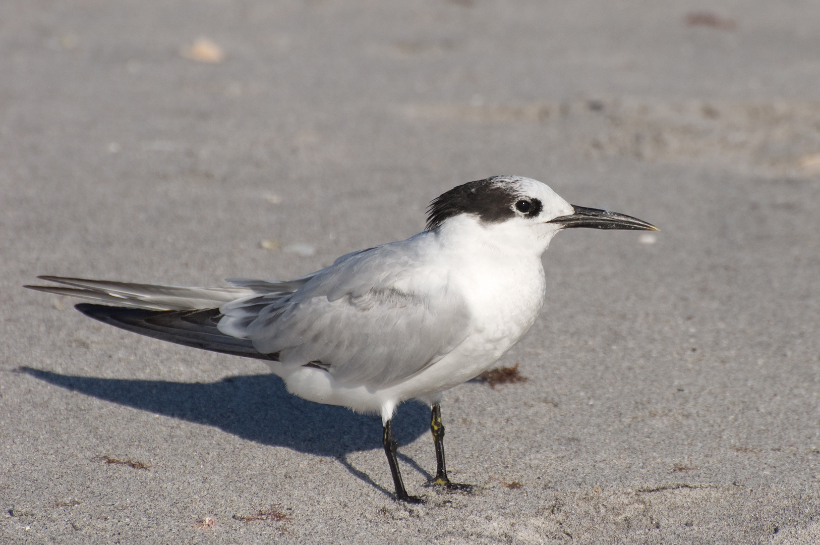 1st Year Sandwich Tern