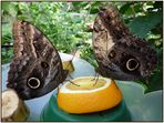 2 Bananenfalter (Caligo eurilochus), die fremdessen